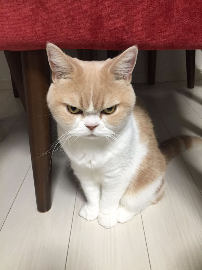 Hate seeing people. Have so much of anger. Meet Japanese Grumpy Cat, Who Is Even Grumpier Than The Original One