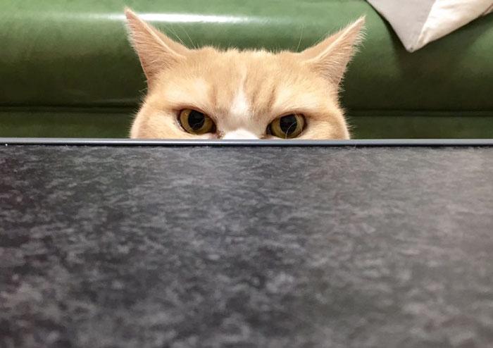 Angry koyuki moflicious cat. Meet Japanese Grumpy Cat, Who Is Even Grumpier Than The Original One