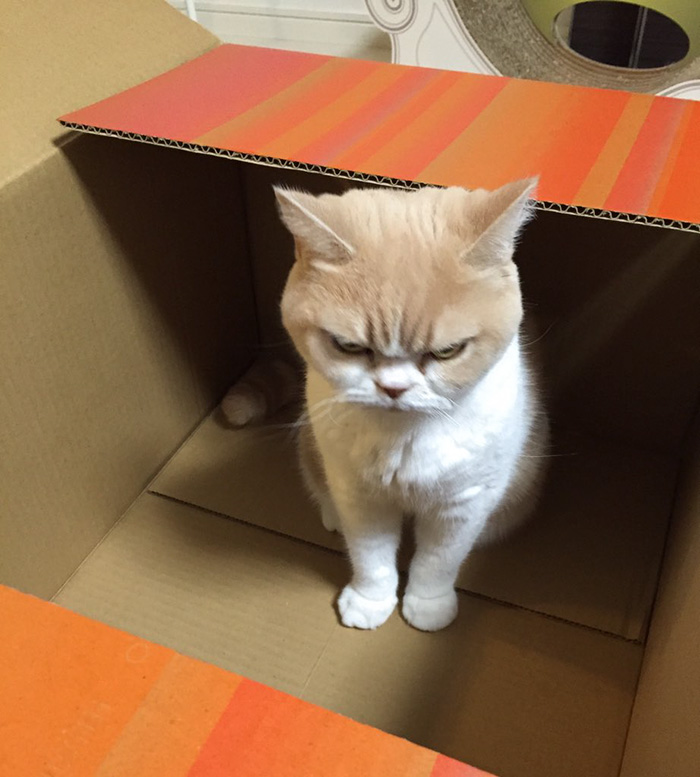 Angry Japanese cat. Meet Japanese Grumpy Cat, Who Is Even Grumpier Than The Original One