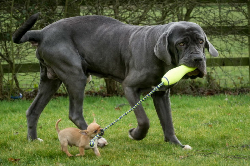Largest Dog Breed On Earth